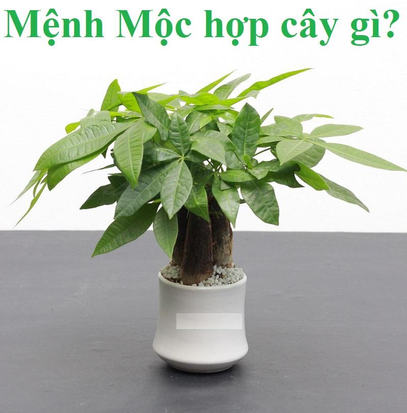Cây hợp mệnh Mộc giúp sinh tài lộc, may mắn. Mệnh Mộc hợp trồng cây gì trong nhà, để bàn?
