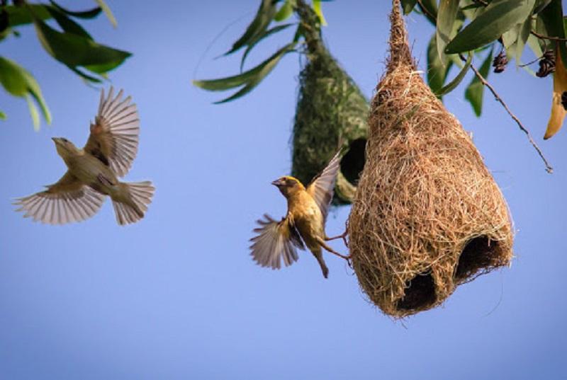 Chim bay vào nhà mang đến điềm lành hay dữ?Chim bay vào nhà làm tổ có tốt không?