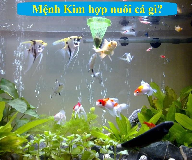 Mệnh Kim có nên nuôi cá hay không? Mệnh Kim hợp nuôi cá gì?