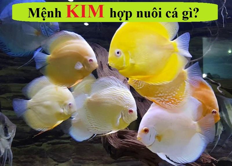 Mệnh Kim hợp nuôi cá gì theo phong thủy ngũ hành?