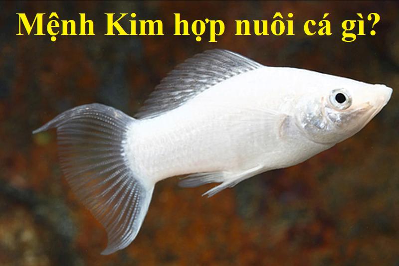 Mệnh Kim hợp nuôi cá gì theo phong thủy? Loài cá hợp mệnh Kim