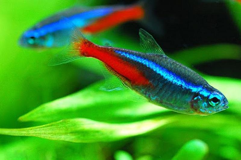 Mệnh Kim hợp nuôi cá gì? Mệnh Kim có nên nuôi cá, nên nuôi mấy con, màu gì?