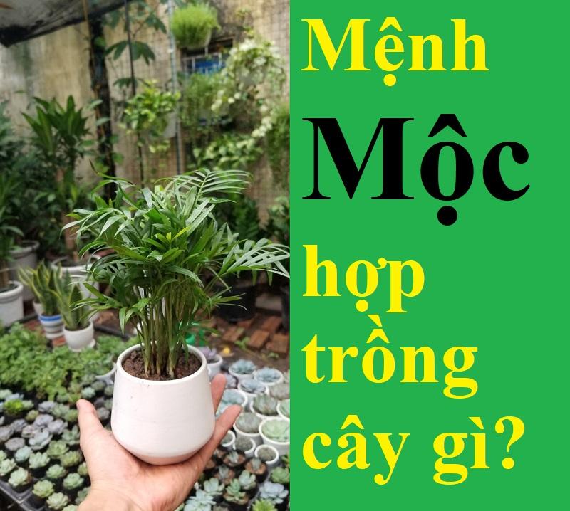 Mệnh Mộc hợp cây gì, nên trồng cây gì? Cây hợp mệnh Mộc. Cau Tiểu Trâm