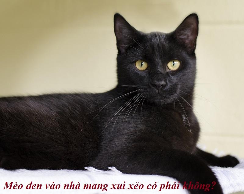 Mèo vào nhà báo hiệu điềm lành hay điềm dữ? Mèo đen vào nhà đem lại xui rủi cho gia đình