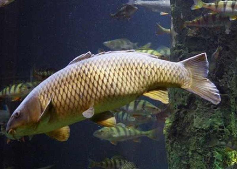 Mơ thấy cá chép là điềm báo gì? Mơ thấy cá chép trắng