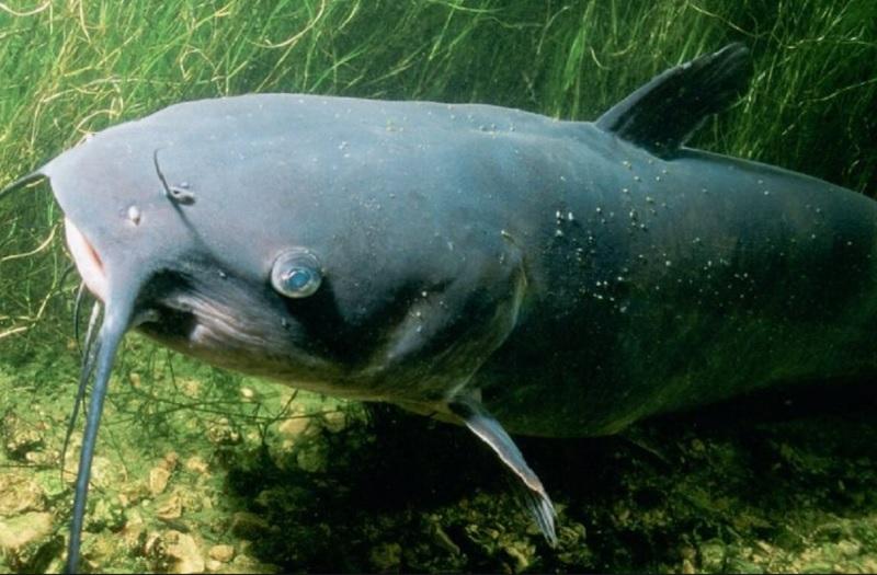 Mơ thấy cá trê đánh con gì? Mơ thấy cá trê là tốt hay xấu?