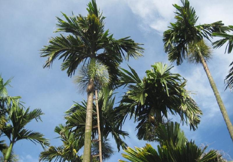 Nên trồng cây phong thủy nào trong nhà trừ tà ma. Cây cau