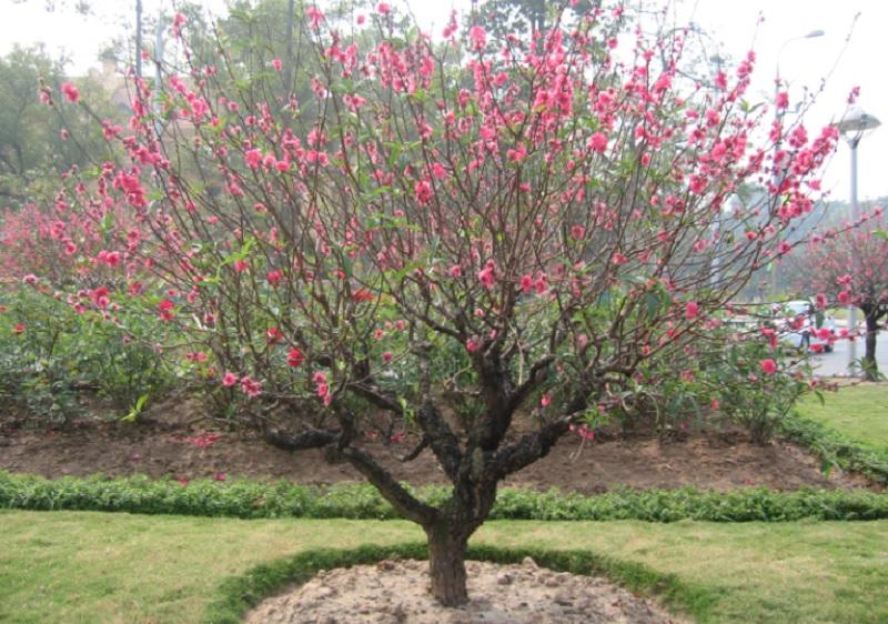 Nên trồng cây phong thủy nào trong nhà trừ tà ma. Để cây gì trong phòng khách trừ tà khí? Cây đào