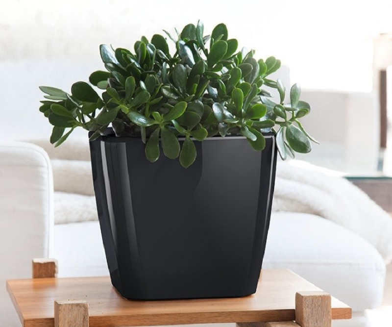 Nên trồng cây phong thủy nào trong nhà trừ tà ma. Cây ngọc bích. Cây trừ tà đuổi ma