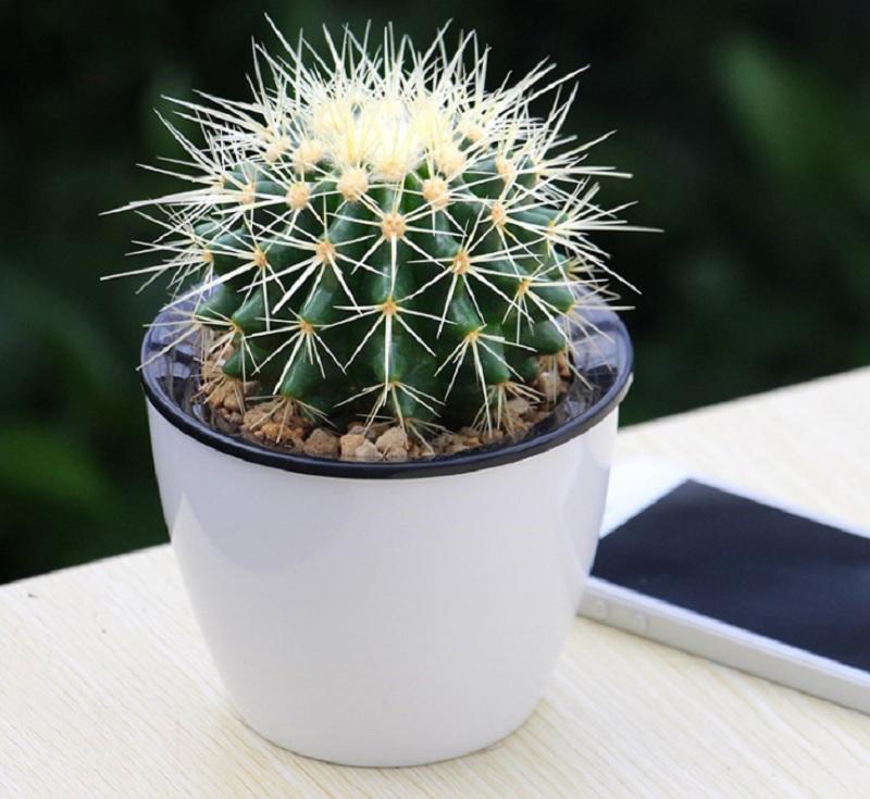 Nên trồng cây phong thủy nào trong nhà trừ tà ma. Cây Xương rồng. Trồng cây gì trừ tà ma