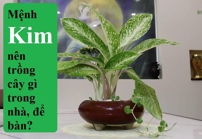 Người mệnh Kim nên trồng cây gì trong nhà, để bàn làm việc, văn phòng? Mệnh Kim hợp cây gì?