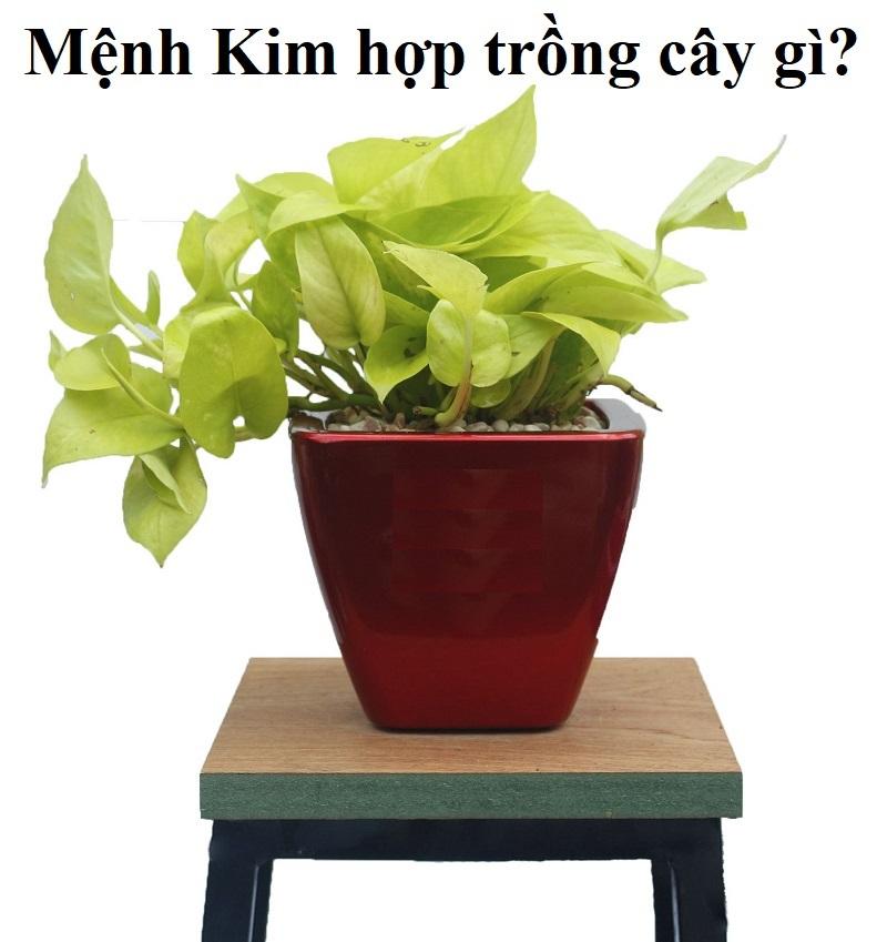 Người mệnh Kim nên trồng cây gì trong nhà, để bàn làm việc?