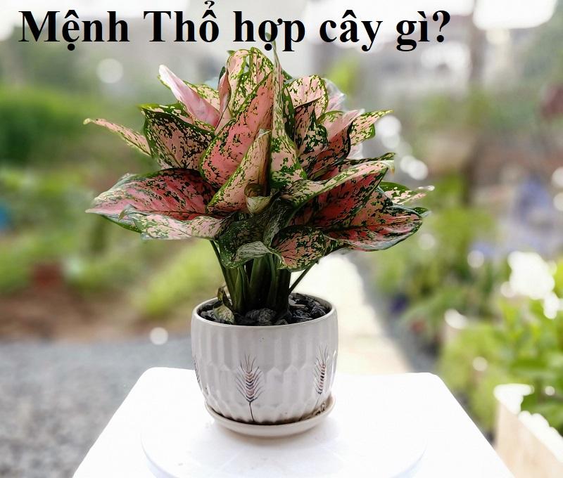 Người mệnh Thổ hợp cây cảnh gì trồng trong nhà, để bàn làm việc?