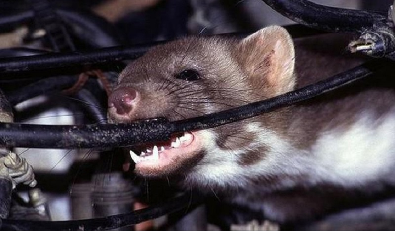 Bị chuột cắn là điềm lành hay xấu? Bị chuột bò lên người là điềm gì?