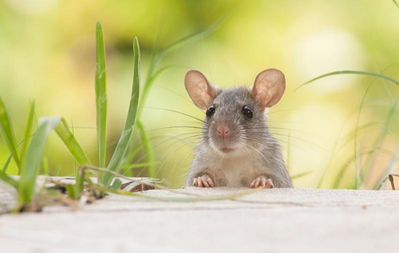 Bị chuột cắn là điềm lành hay xấu? Chuột kêu ban đêm là điềm gì