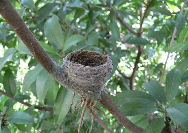 Các điềm báo gở, điềm báo xui xẻo. Không bắt tổ chim trên cây