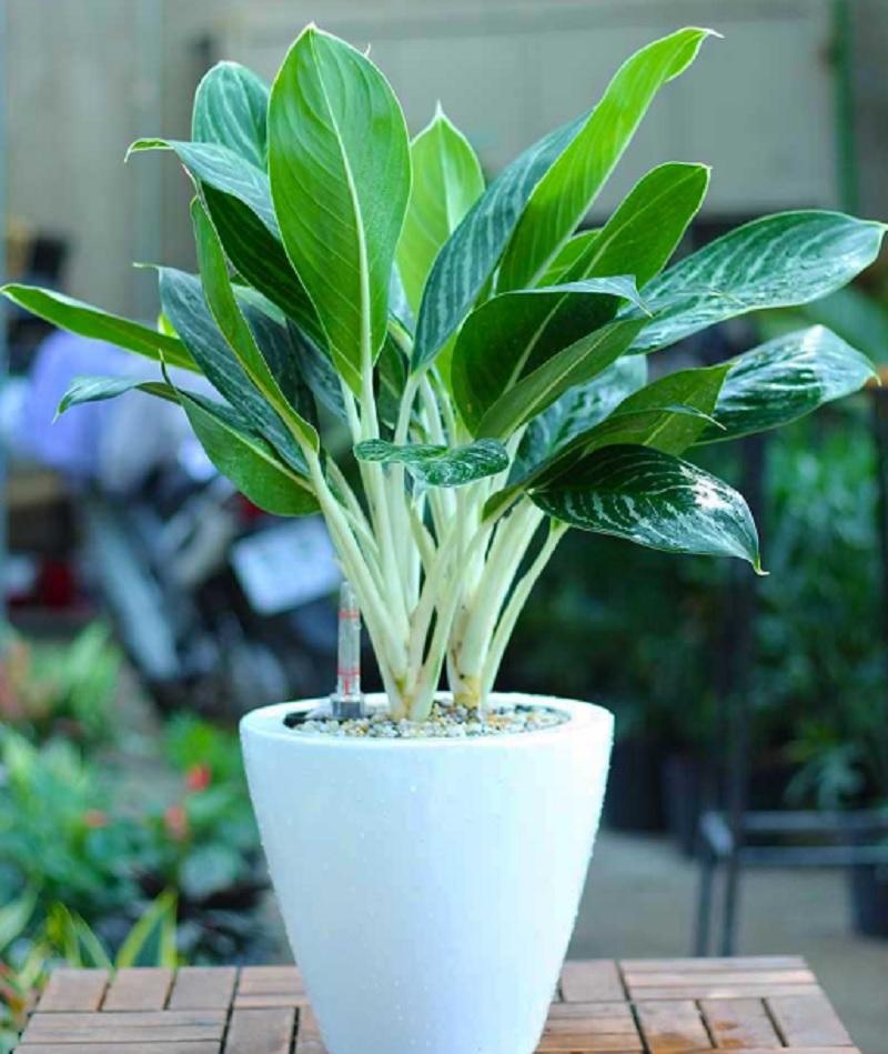Tuổi Nhâm Thân hợp cây gì? Tuổi 1992 nên trồng cây nào hợp mệnh