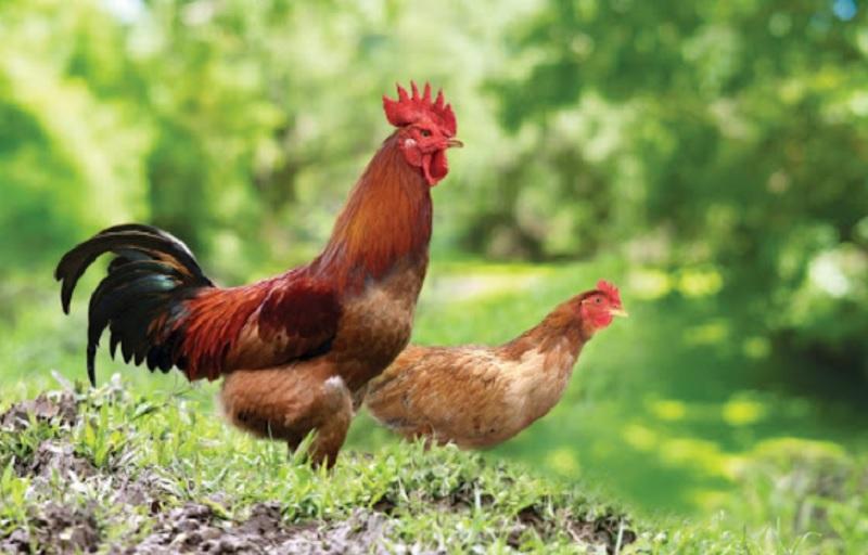 Mơ thấy gà đánh con gì?mơ thấy trứng gà đánh đề con gì?