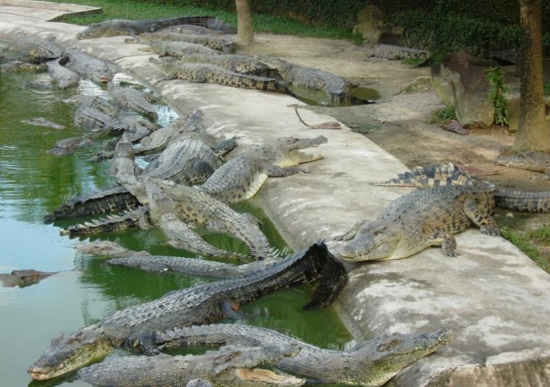Mơ thấy cá sấu là điềm báo gì? Nằm mơ thấy nhiều cá sấu là điềm gì?