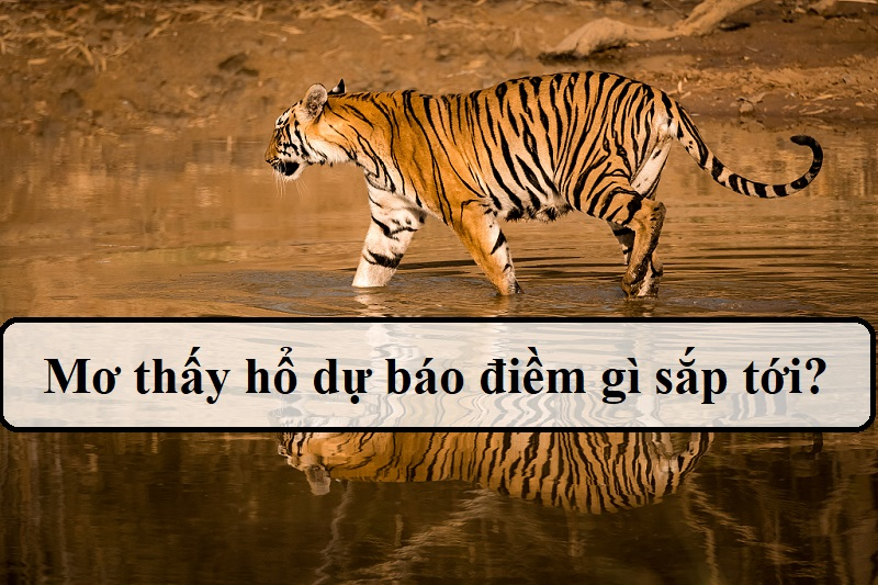Mơ thấy hổ là điềm báo gì?