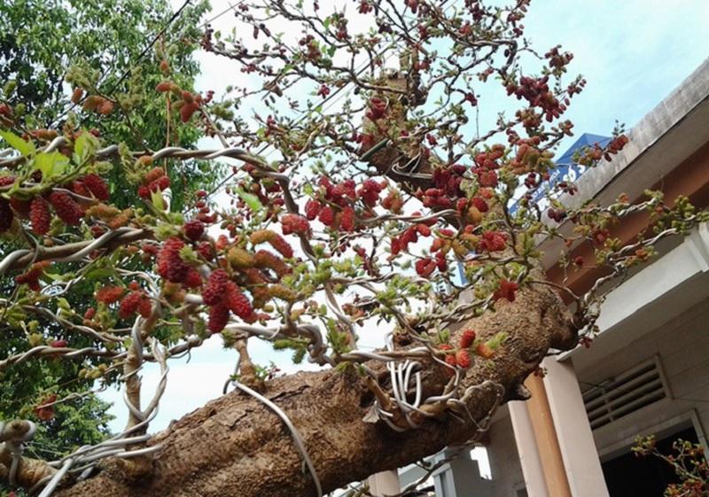 Cây dâu tằm trong phong thủy. Cách trồng cây dâu tằm