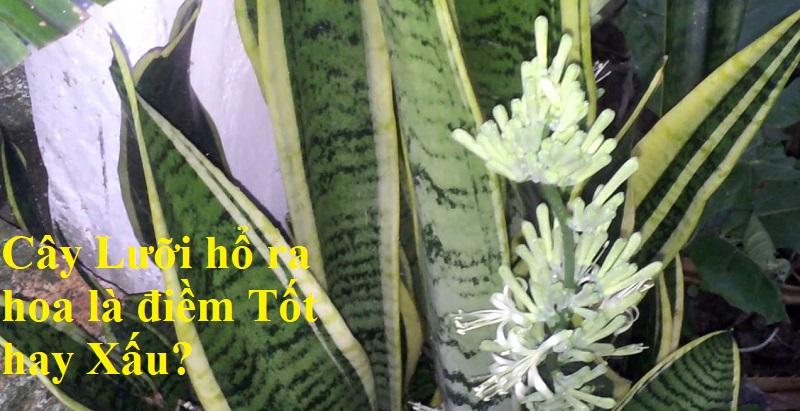 Cây Lưỡi hổ ra hoa là điềm tốt hay xấu?