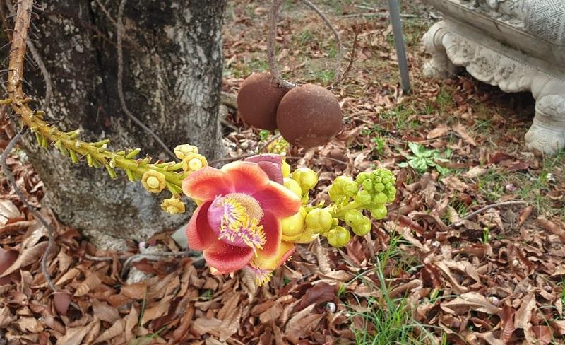 Có nên trồng cây Sala trước nhà không? Trái của cây Sala có ăn được không?