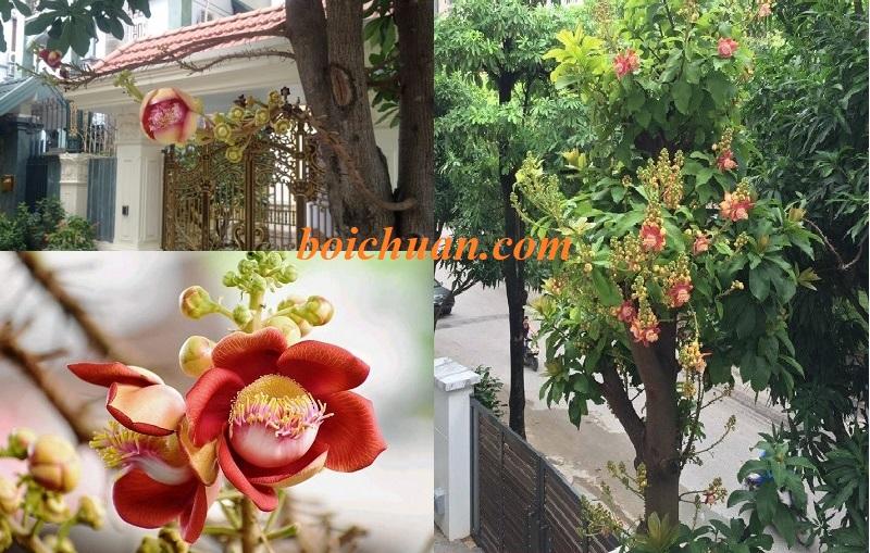 Có nên trồng cây Sala trước nhà không? Cây sala phong thủy