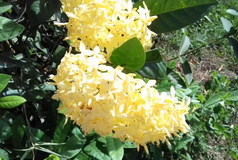 Có nên trồng cây bông trang trong nhà? Trồng cây bông trang hợp phong thủy