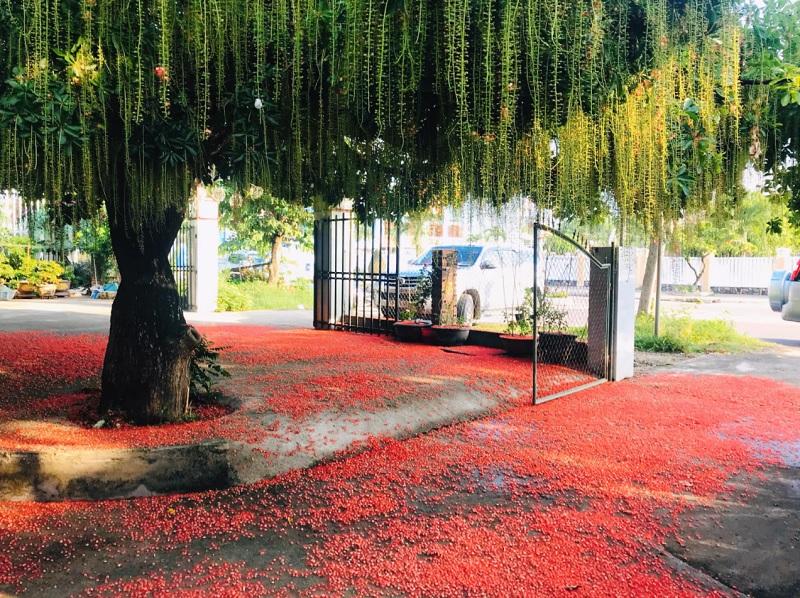 Có nên trồng cây lộc vừng trước nhà. Trồng cây lộc vừng tốt hay xấu?