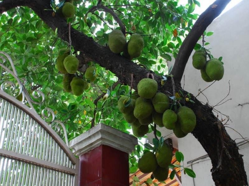 Có nên trồng cây mít trước nhà không? Trồng cây mít trước cửa nhà có tốt không?