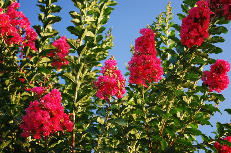 Có nên trồng cây tường vy trước nhà? Cây hoa tường vy trong phong thủy