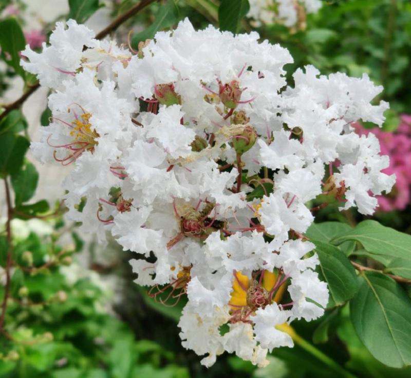 Có nên trồng cây tường vy trước nhà? Cây hoa tường vy mang ý nghĩa gì?