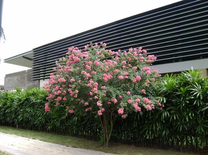 Có nên trồng cây tường vy trước nhà? Trồng cây tường vy trước nhà tốt hay xấu?