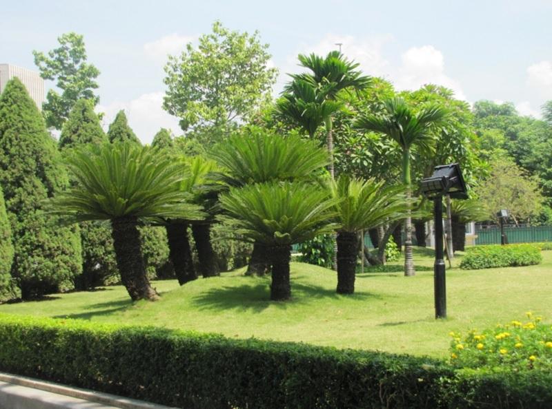 Có nên trồng cây vạn tuế trước nhà không? Cây vạn tuế hợp mệnh gì?