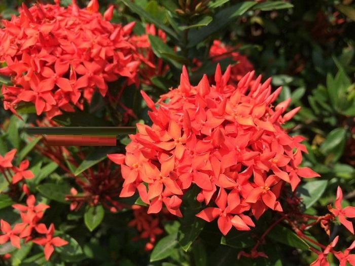 Có nên trồng hoa mẫu đơn trước nhà? Một loại hoa mẫu đơn rất được ưa chuộng