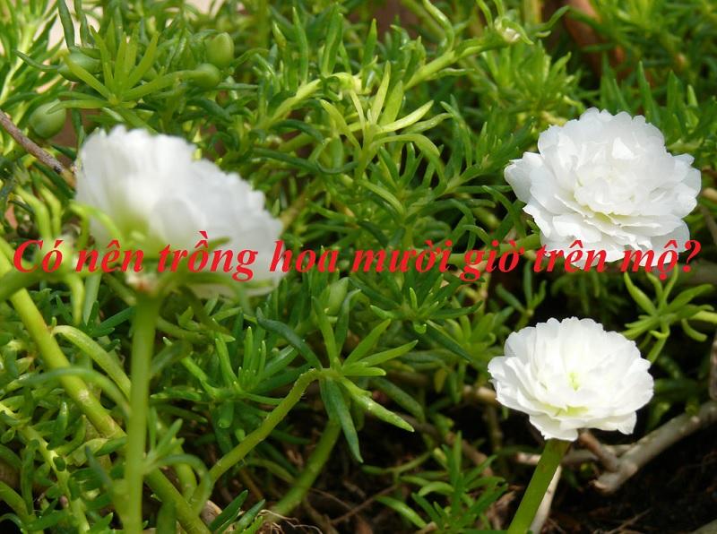 Có nên trồng hoa mười giờ trên mộ? Ý nghĩa hoa mười giờ trong phong thủy