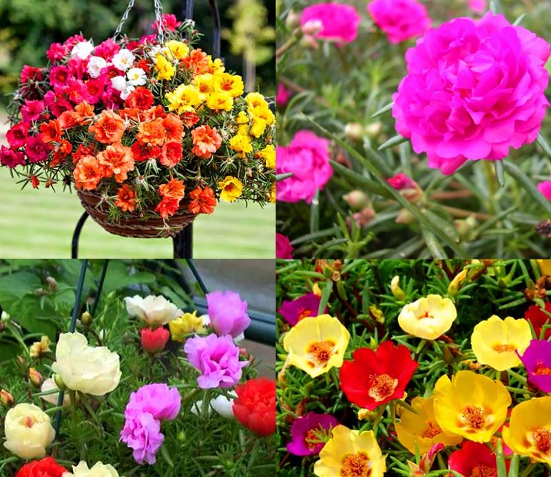 Có nên trồng hoa mười giờ trước nhà? Cách trồng hoa mười giờ hợp phong thủy