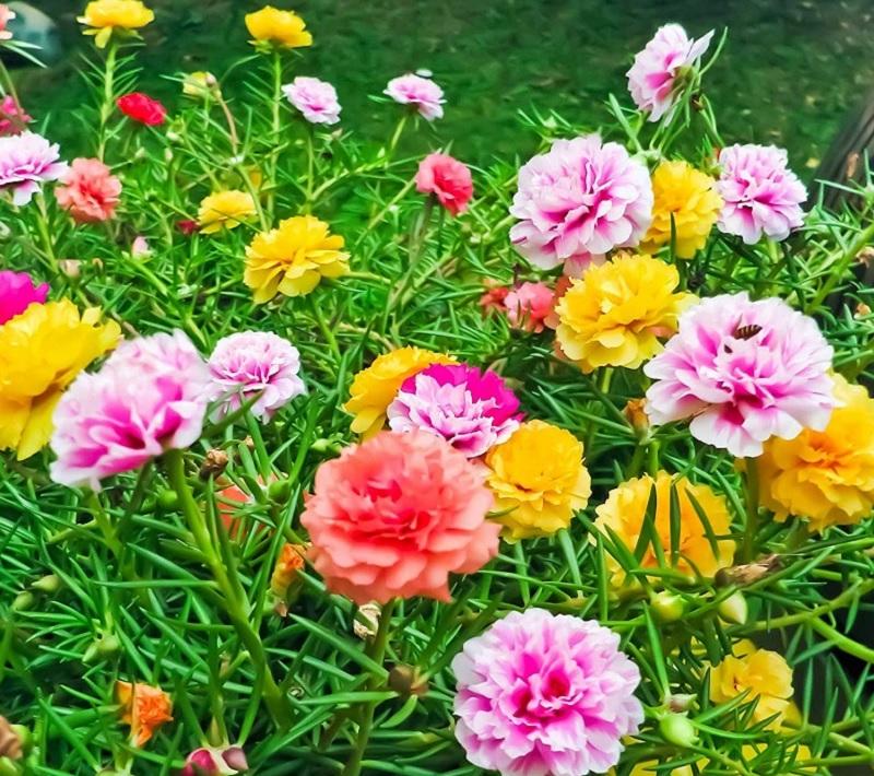 Có nên trồng hoa mười giờ trước nhà? Cách trồng hoa mười giờ
