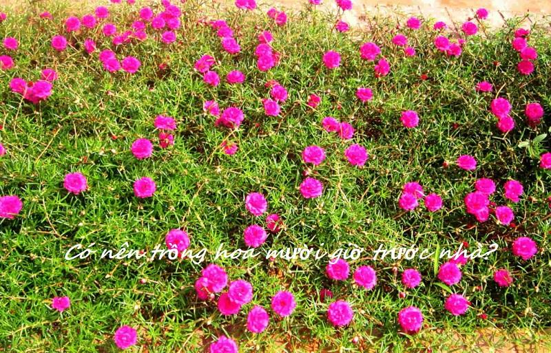 Có nên trồng hoa mười giờ trước nhà? Trồng hoa mười giờ trước cửa thế nào hợp phong thủy?