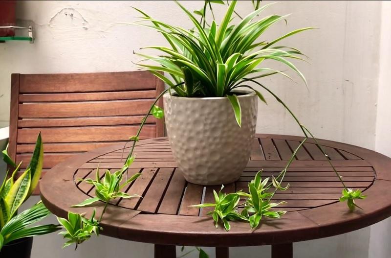 Nên trồng cây gì trong nhà? Cây dây nhện. Nên và không nên trồng cây gì trong nhà?