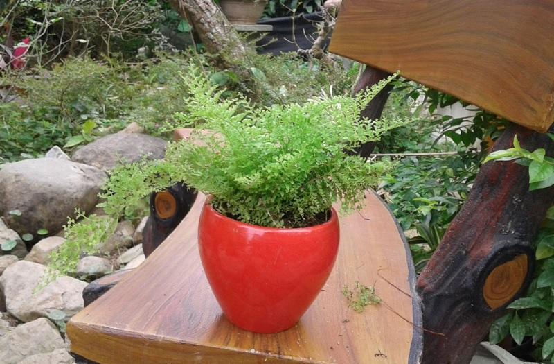 Nên và không nên trồng cây gì trong nhà? 10 loại cây nên trồng trong nhà. Cây dương xỉ