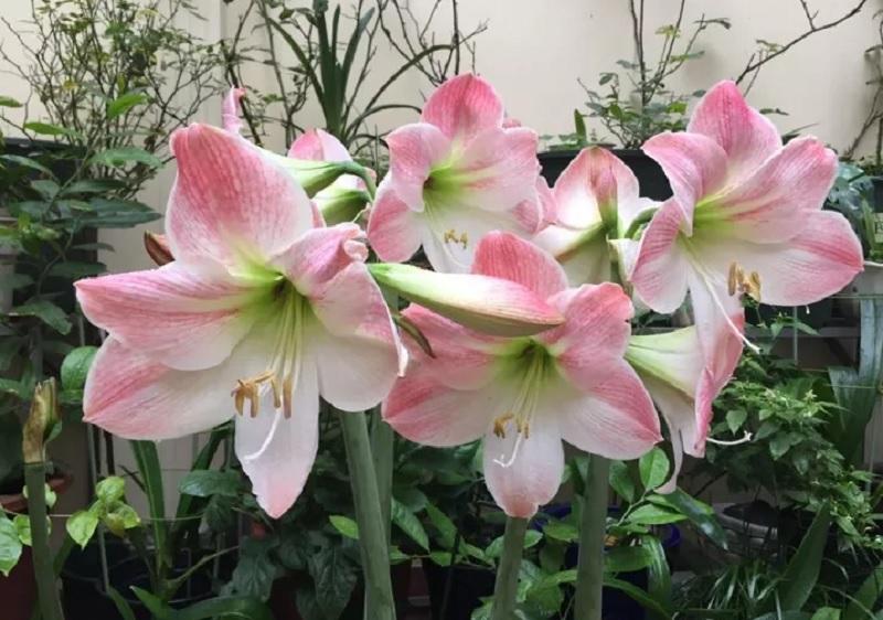 Nên và không nên trồng cây gì trong nhà? Những loại cây không nên trồng trong nhà. Cây hoa huệ lily