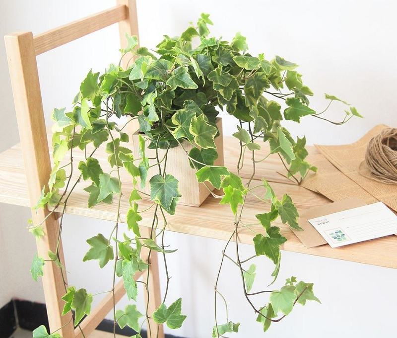 Các loại cây nên trồng trong nhà. Cây nguyệt quế. Nên và không nên trồng cây gì trong nhà?