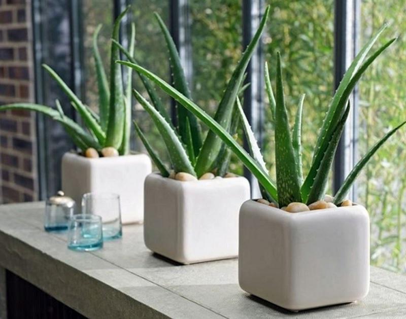 Nên trồng cây gì trong nhà? Cây nha đam. Nên và không nên trồng cây gì trong nhà?