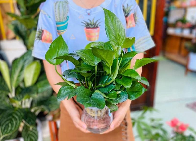 Nên và không nên trồng cây gì trong nhà? Những loại cây nên trồng trong nhà. Cây trầu bà