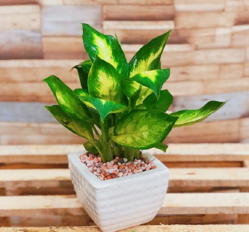 Những loại cây nên trồng trong nhà. Cây vạn niên thanh. Nên và không nên trồng cây gì trong nhà?