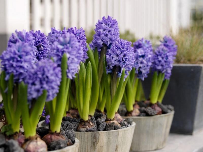 Nên và không nên trồng cây gì trong nhà? Cây dạ lan hương. Cây nào không nên trồng trong nhà?
