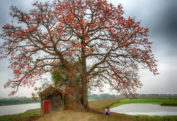 Những cây không nên trồng trước nhà, cây gạo