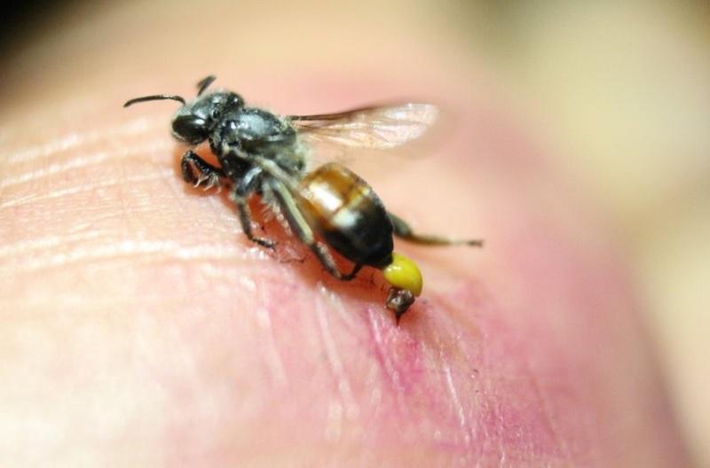Bị ong đốt là điềm gì? Đi đường bị ong đốt là điềm gì?